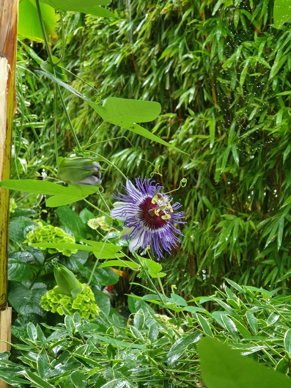 Passiflora 'Purple Haze' - Page 2 20211080