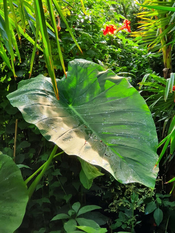 Rémi - Mon (tout) petit jardin en mode tropical - Page 21 20211085