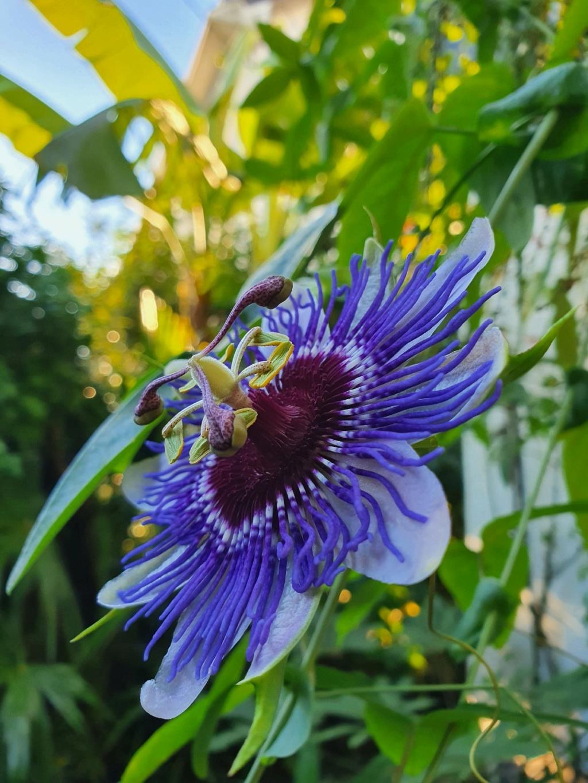 Passiflora 'Purple Haze' - Page 2 20211132