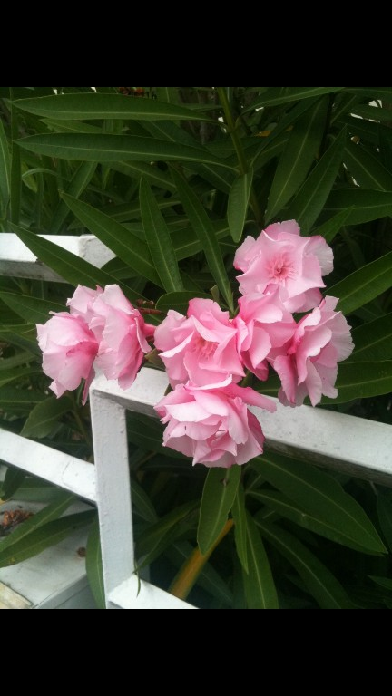Nerium oleander - laurier rose - Page 4 Screen20