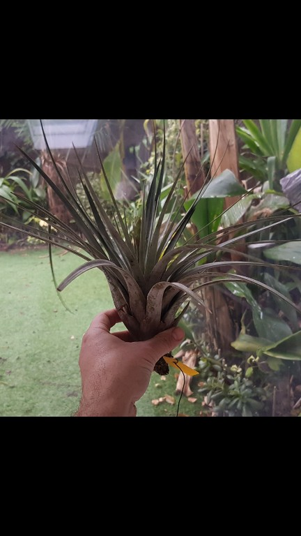 Tillandsia fasciculata Screen22