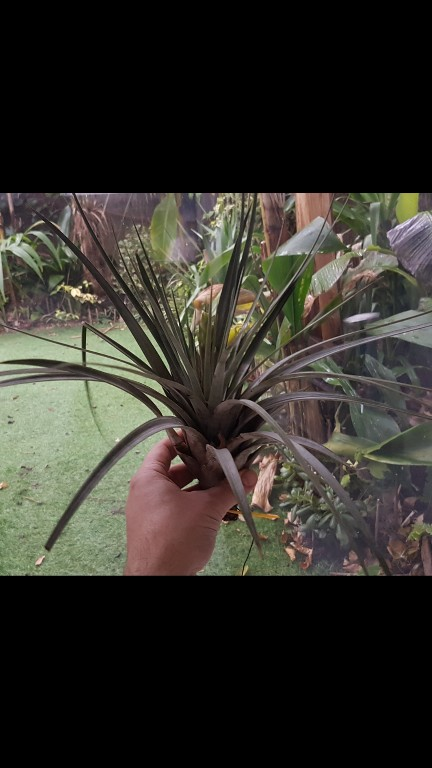 Tillandsia fasciculata Screen23