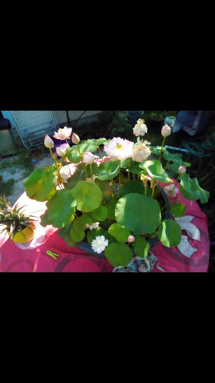 Nelumbo nucifera et horticoles - lotus sacré - Page 3 Screen24