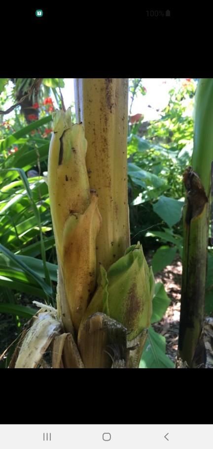 Musa basjoo - bananier du Japon - Page 2 Screen50