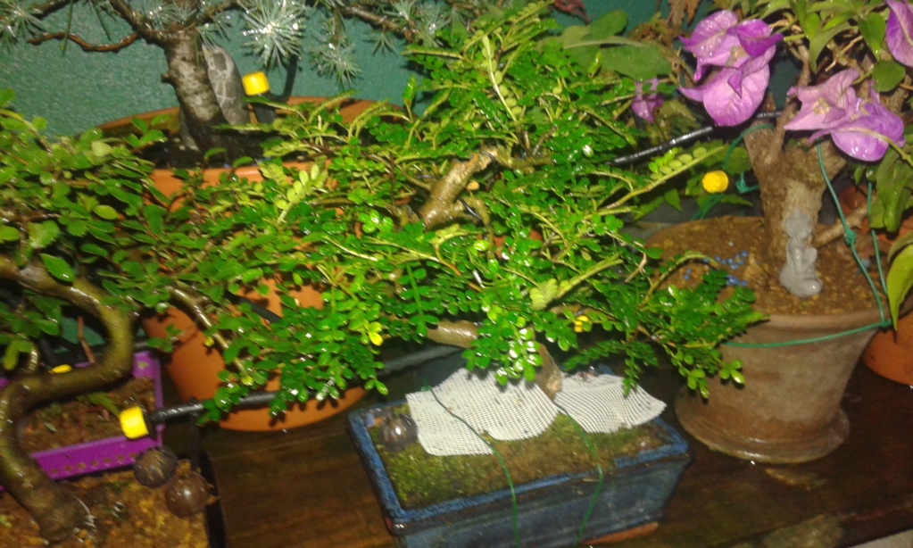 Zanthoxylum piperitum pierde hojas! 20180718