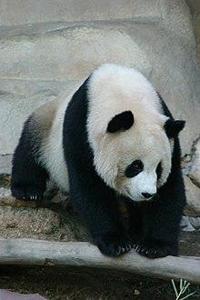 Panda-Bären 220px-10