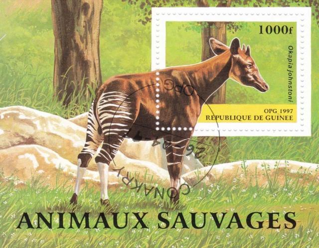 Kleinbogen Okapi Img_2471
