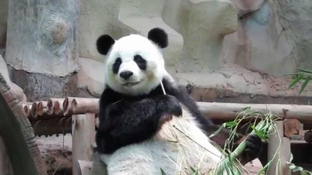 Panda-Bären Maxres10