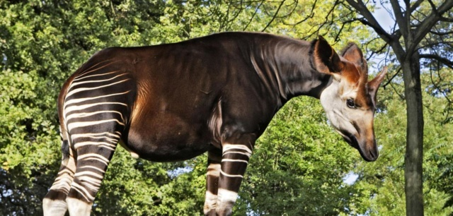 Kleinbogen Okapi Okapi-10