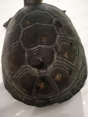 Tâches jaunes dorées sur carapace tortue d'eau 37850510