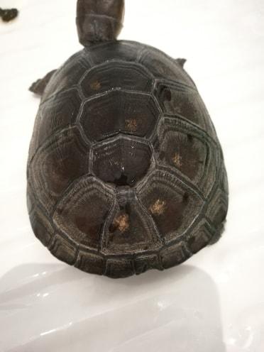 Tâches jaunes dorées sur carapace tortue d'eau 37851610