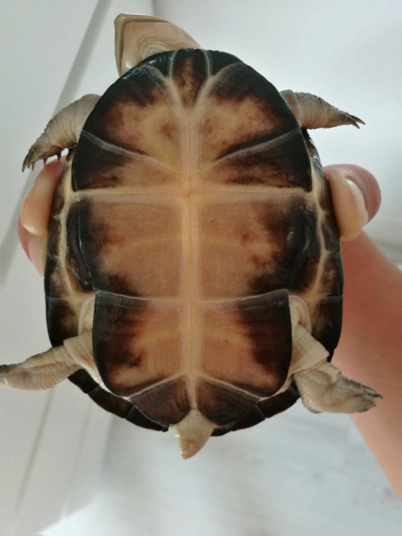 Tâches jaunes dorées sur carapace tortue d'eau Plastr10