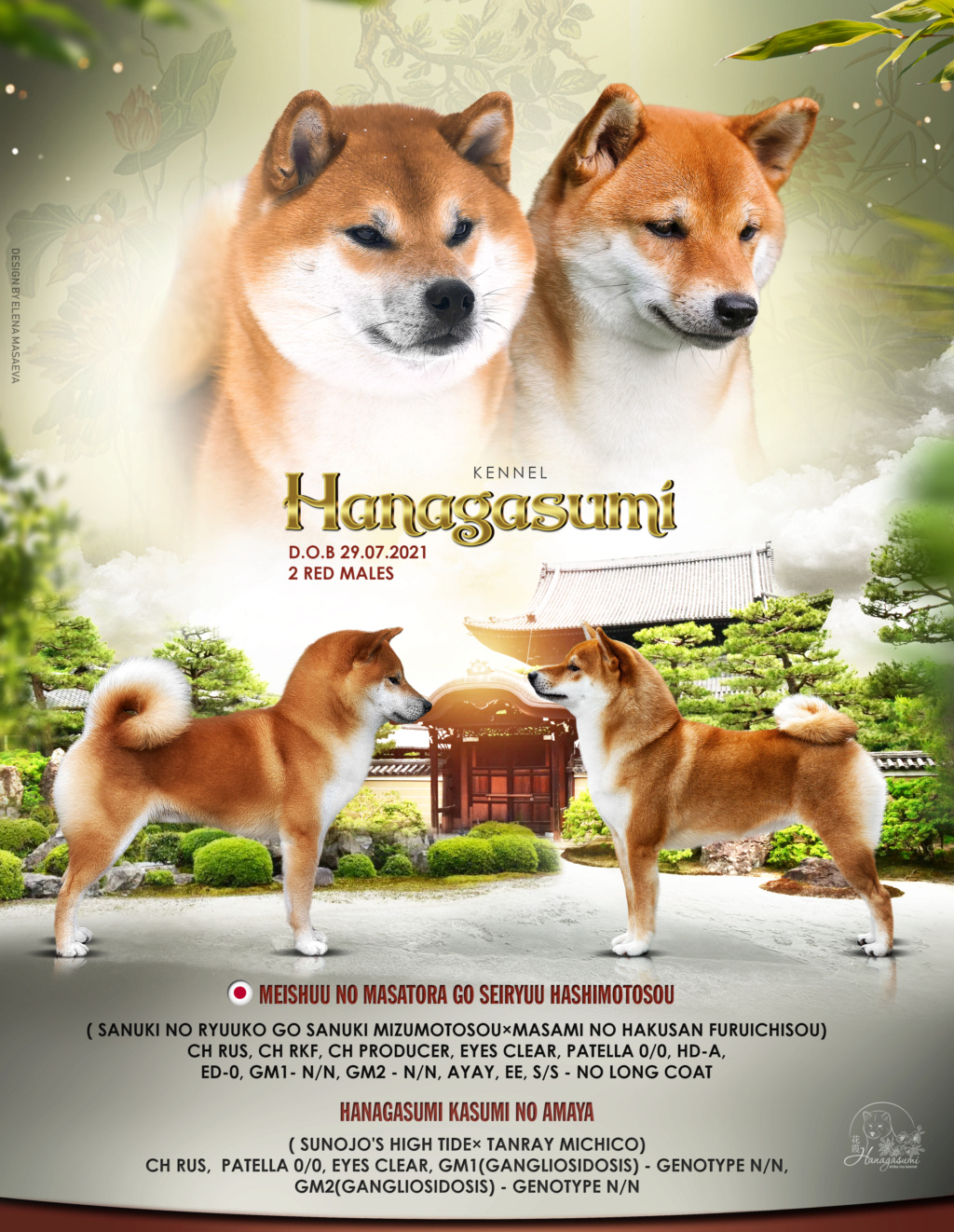 Питомник HANAGASUMI предлагает к бронированию кобеля от племенной пары MEISHUU NO KARYUU GO SEIRYUU HASHIMOTOSOU и HANAGASUMI KASUMI NO AMAYA DOB 16 июля 2021 г   Hanaga10