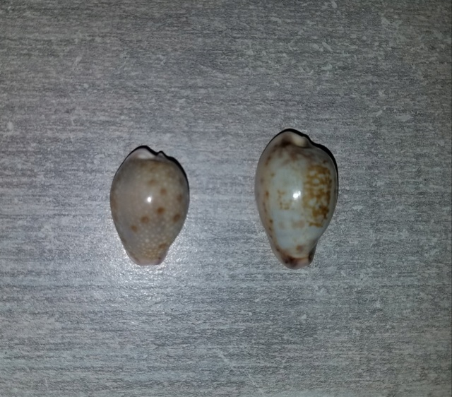 Naria marginalis et Zonaria zonaria 20181019