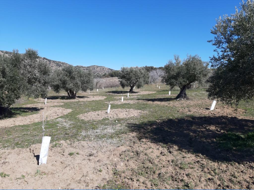 Crecimiento de plantones olivo - Página 16 20190313