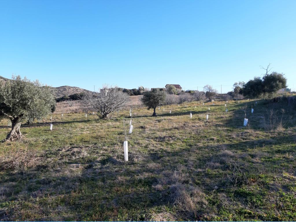 Crecimiento de plantones olivo - Página 16 20190316