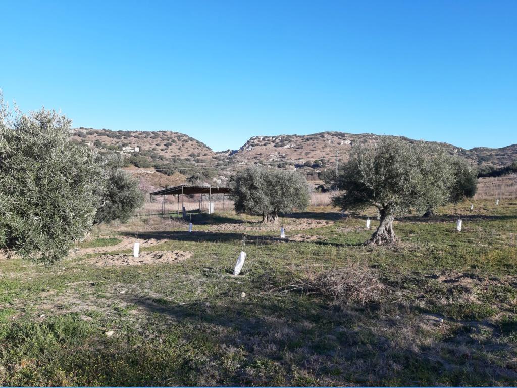 Crecimiento de plantones olivo - Página 16 20190317