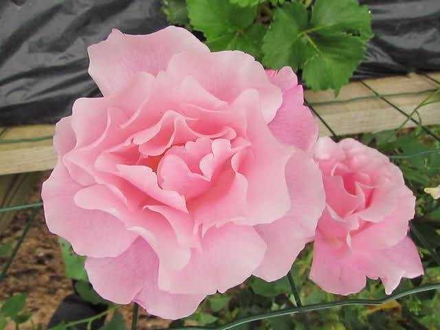 Los rosales de Gom - Página 6 108iot10
