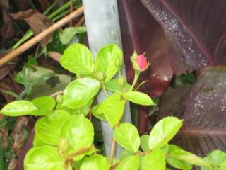 Los rosales de Gom - Página 3 14b3nu10