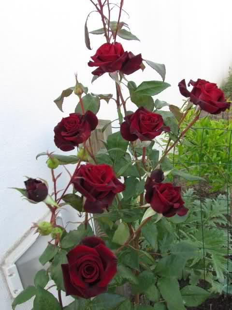 Los rosales de Gom - Página 6 14kk3110