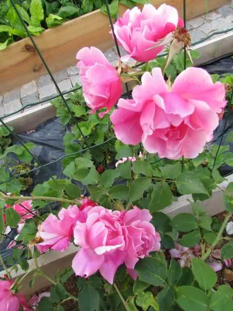 Los rosales de Gom - Página 6 14mxv810