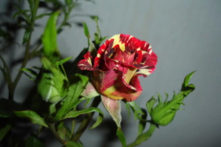 Los rosales de Gom - Página 4 154y0y10