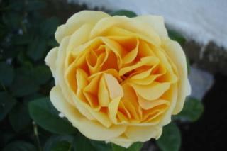 Los rosales de Gom - Página 3 15807p10