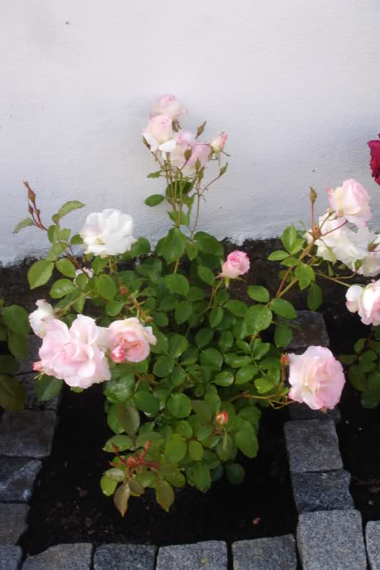 Los rosales de Gom 15mjwu10