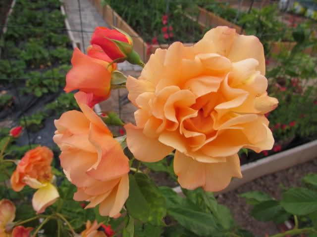 Los rosales de Gom - Página 6 167vwx10