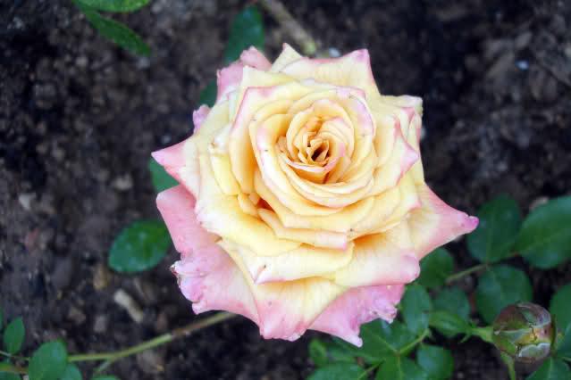 Los rosales de Gom - Página 5 16gwfu10
