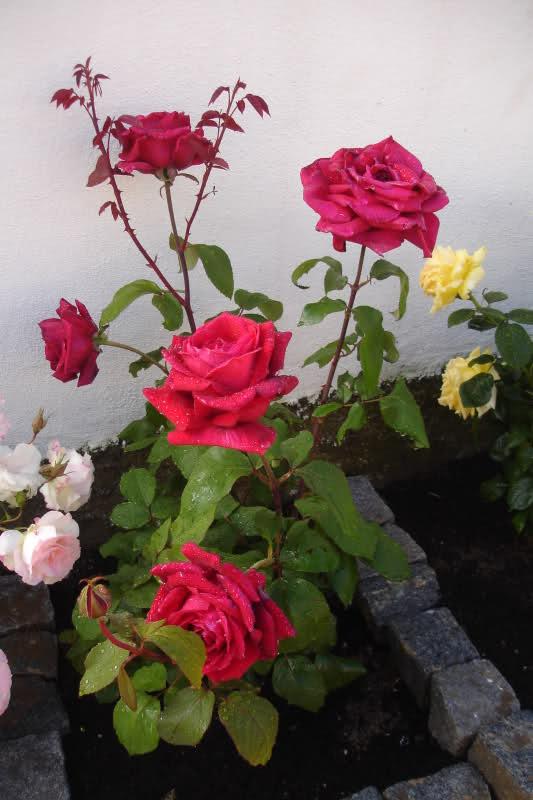 Los rosales de Gom - Página 2 20plr610
