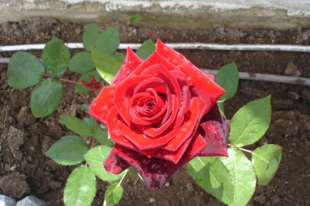 Los rosales de Gom - Página 2 21kjwc10