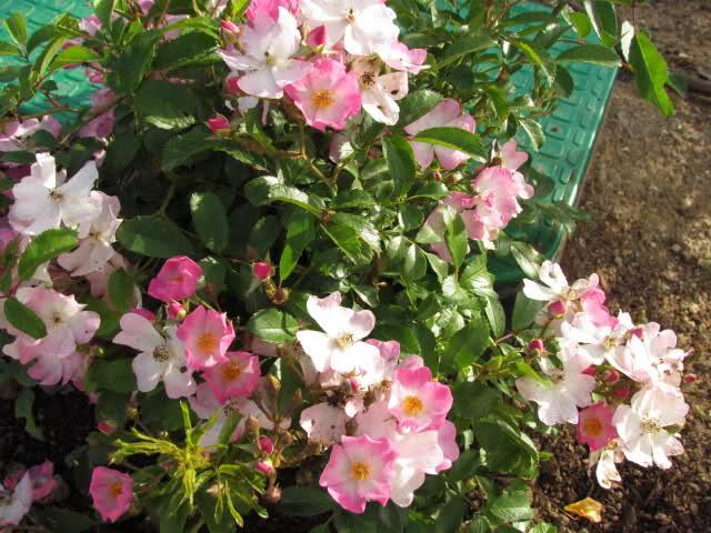 Los rosales de Gom - Página 6 24wvdp10