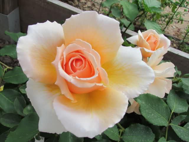 Los rosales de Gom - Página 6 2626tg11