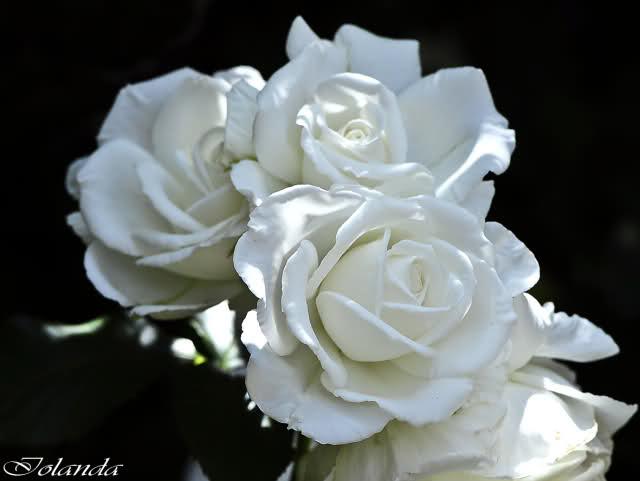 Los rosales de Gom - Página 4 2d8g7e10