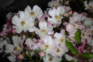 Los rosales de Gom - Página 4 2dmhuu10