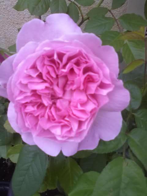 Los rosales de Gom - Página 8 2ebwf310