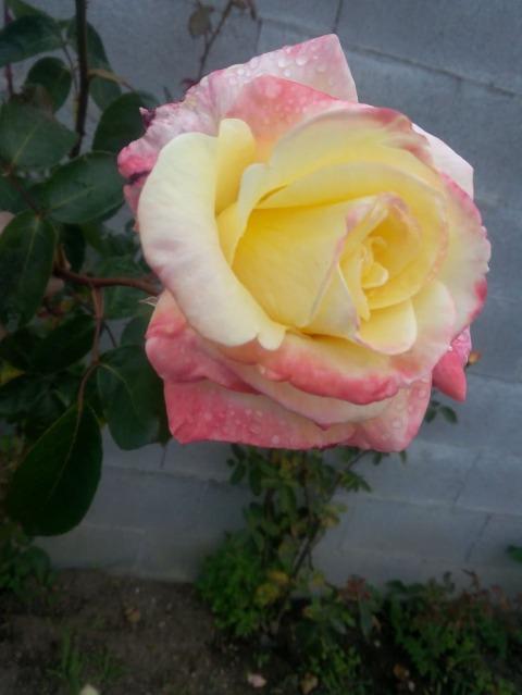 ROSAS DEL JARDIN DE MI MADRE 2hdv2v10