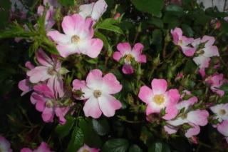 Los rosales de Gom - Página 3 2hn13e10