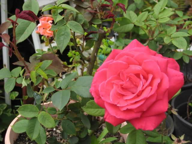 Un sueño.........Mil rosas en mi Jardin - Página 11 2iksle10