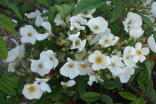 Los rosales de Gom - Página 3 2jey8410