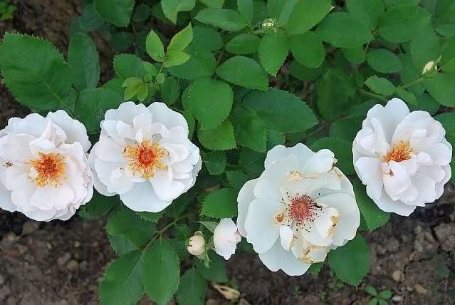Los rosales de Gom - Página 5 2l9p2s10