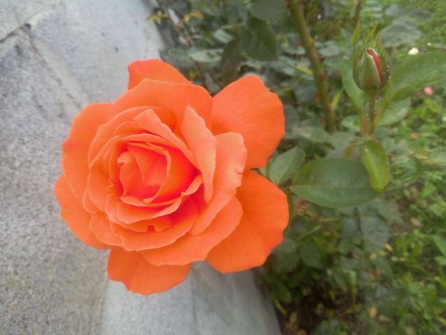 ROSAS DEL JARDIN DE MI MADRE 2m7j3n10