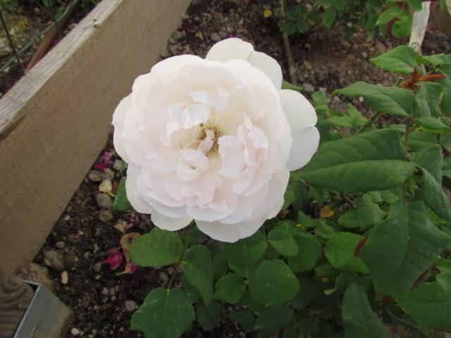 Los rosales de Gom - Página 6 2mwc9w10