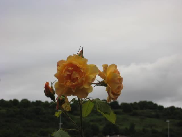 Un sueño.........Mil rosas en mi Jardin - Página 11 2na5st10