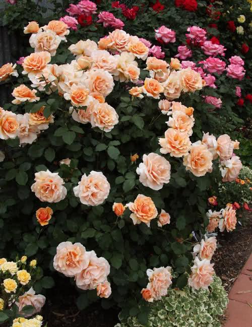 Los rosales de Gom - Página 5 2pz0l010