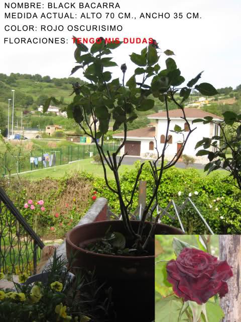 Un sueño.........Mil rosas en mi Jardin 2s60w210