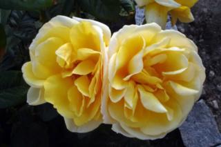 Los rosales de Gom - Página 3 2uh6al10