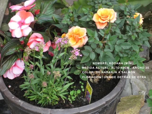 Un sueño.........Mil rosas en mi Jardin 2zpoy910