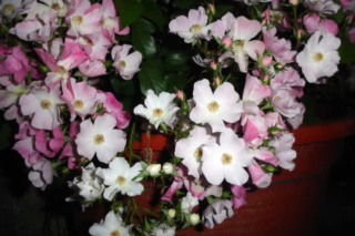 Los rosales de Gom - Página 4 30230310